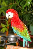 Scarlet Macaw Stock Image