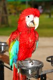 Scarlet Macaw Royalty Free Stock Photo