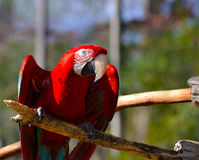 Scarlet Macaw. Depicts a Scarlet Macaw (Ara macao) a large, colorful macaw Royalty Free Stock Images