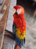 Scarlet Macaw. In Marasha natural Reserve, Amazonas, Peru royalty free stock photography