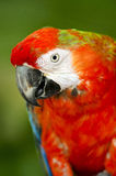 Scarlet Macaw. Close-up photography Stock Image