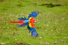 Scarlet Macaw. Large Scarlet Macaw in Flight Against Green Background royalty free stock photos