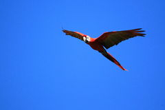 Free Scarlet Macaw Stock Photo - 30671210