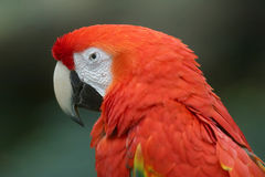 Scarlet Macaw. A scarlet macaw on display in a zoo Royalty Free Stock Photos
