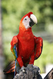 Scarlet Macaw. A cheeky parrot looking right at the camera Stock Photography