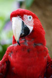Scarlet Macaw. A close up shot of the Scarlet Macaw Stock Image