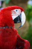 Scarlet Macaw. A close up shot of the Scarlet Macaw Stock Images