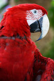 Scarlet Macaw. A close up shot of the Scarlet Macaw Royalty Free Stock Photography