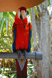 Scarlet macaw. Latin name Ara macao perched on a stand outside in a garden Royalty Free Stock Photos