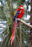 Scarlet Macaw Stock Images