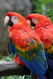 Scarlet Macaw. The Scarlet Macaw is a large colorful parrot Stock Image