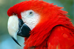 Scarlet Macaw. Closeup of a scarlet macaw royalty free stock photography
