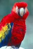 Scarlet Macaw. Macaw lookin at camera Royalty Free Stock Images