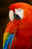 Scarlet Macaw. A portrait of a beautiful Scarlet Macaw, native to South America Stock Image
