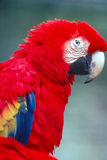 Scarlet Macaw. Side view, closep up Royalty Free Stock Photos