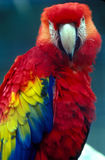 SCARLET MACAW. Looking at camera Royalty Free Stock Images