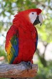 Scarlet Macaw. Sitting on a branch Stock Images