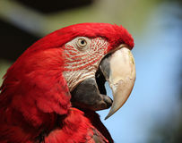 A Scarlet Macaw, Ara macao Stock Images