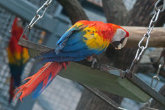 The scarlet macaw Stock Photo