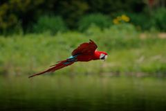 Scarlet Macaw, Ara macao, flight above forest river. Costa Rica. Wildlife scene, tropic nature. Red bird in the forest. Parrot fli. Scarlet Macaw, Ara macao Royalty Free Stock Images