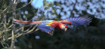 Scarlet Macaw Ara Macao Stock Image