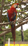 Scarlet macaw. (Ara macao) in the garden nearby Manaus Stock Photo