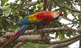 Scarlet macaw. (Ara macao) in the garden nearby Manaus Stock Images