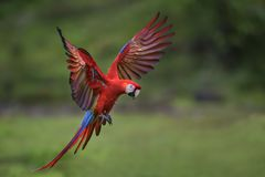 Scarlet Macaw - Ara macao. Large beautiful colorful parrot from New World forests, Costa Rica Stock Photo