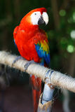 Scarlet Macaw. The Scarlet Macaw (Ara macao) is a large, red, yellow and blue South American parrot, a member of a large group of Neotropical parrots called Stock Photo