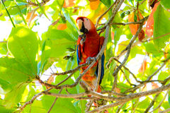 A Scarlet macaw Ara macao macao. Sitting in an Almond Tree eating. At Punta Islita on the Nicoya Peninsula in Costa Rica royalty free stock photo