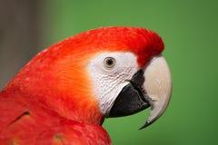 Scarlet Macaw (Ara macao) Stock Image