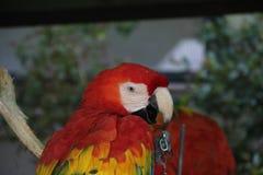 Scarlet macaw Ara macao Stock Photo