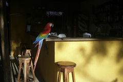 Scarlet macaw, Ara macao Stock Images