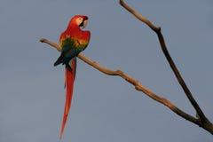 Scarlet macaw, Ara macao Stock Photos