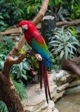 Scarlet macaw (Ara macao) sitting on a tree Stock Photos