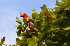 Scarlet macaw, Ara macao or Arakanga Royalty Free Stock Images
