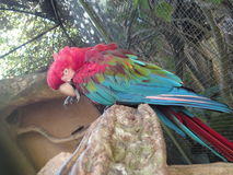 Scarlet macaw Stock Photo