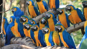 Scarlet Macaw stock footage