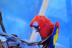 Scarlet Macaw bird on blue background Stock Photography