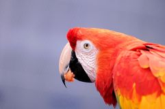 Scarlet Macaw bird eating Stock Photography