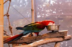 Scarlet Macaw bird eating in South Florida Stock Photography