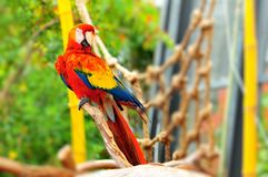 Scarlet Macaw bird, Florida Royalty Free Stock Photo