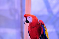 Scarlet Macaw bird in front of purple background Stock Images