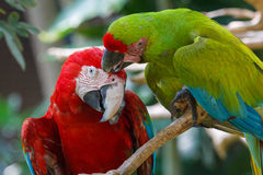 Scarlet Macaw in the bird park on Bali Royalty Free Stock Photography