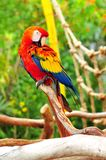 Scarlet Macaw bird perched on branch Stock Image