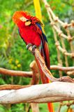 Scarlet Macaw bird preening Stock Photo