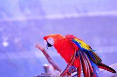 Scarlet Macaw bird on purple background Royalty Free Stock Images