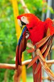 Scarlet Macaw bird, South Florida Royalty Free Stock Image