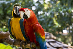 Scarlet-Macaw and Blue-and-yellow-Macaw. Beautiful couple of Scarlet Macaw and Blue and Yellow Macaw royalty free stock image