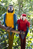 Scarlet-Macaw and Blue-and-yellow-Macaw. Couple of Scarlet Macaw and Blue and Yellow Macaw royalty free stock photography